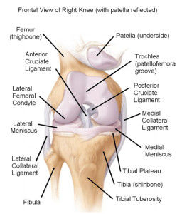 Figure 2. Structures within the knee joint
